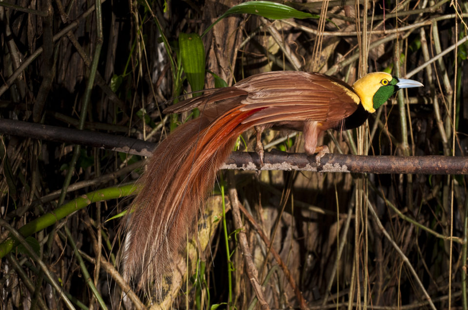 See a bird of paradise at Varirata National Park